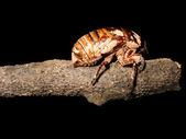 Eclosão do inseto cigarra — Fotografia Stock
