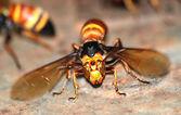 Wasp bee macro — Stock Photo