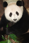 Giant panda bear — Stockfoto