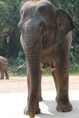 Wilde dieren olifant — Stockfoto