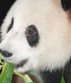 Giant panda bear — Stock Photo