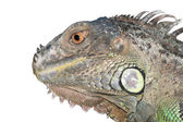 Reptile animal green iguana lizard — Stock Photo