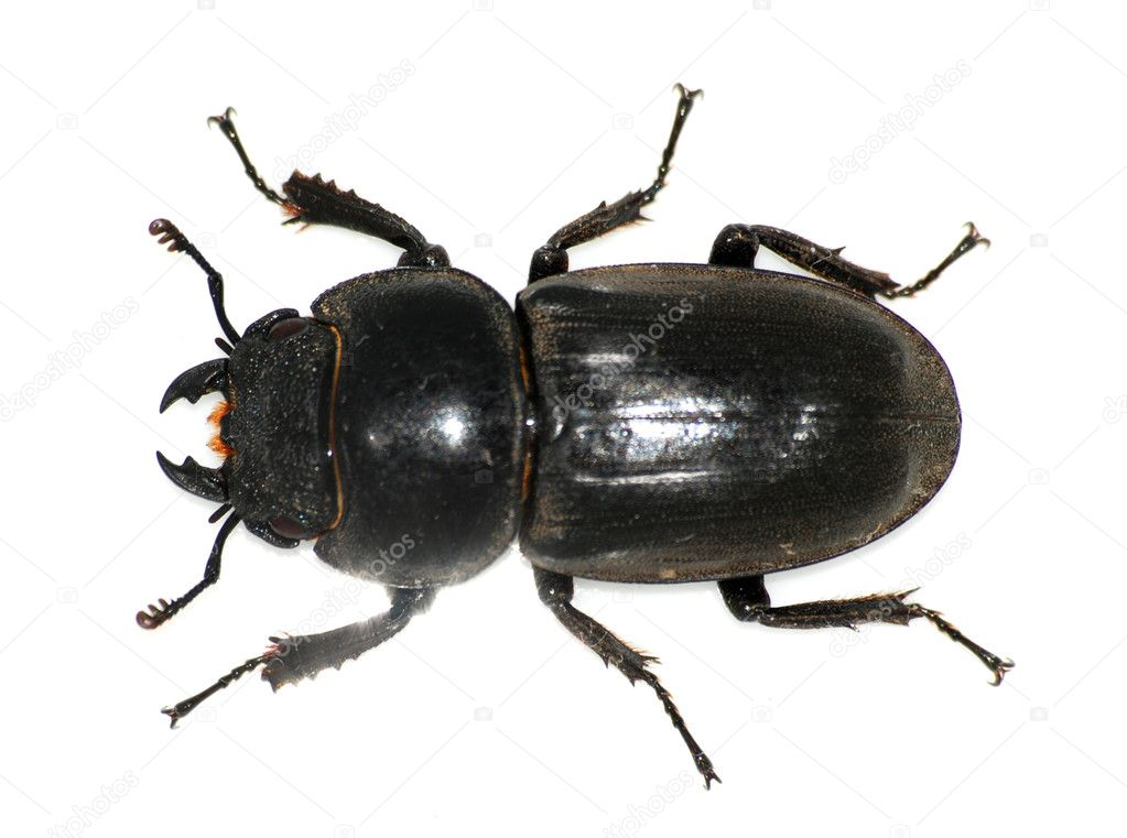 Beetles Insects http://depositphotos.com/3179332/stock-photo-Insect-stag-beetle-bug.html