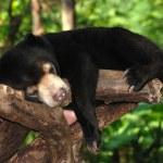 Sleeping sun bear — Stock Photo #3588835