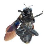 Humble bee — Stock Photo