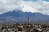Vicunia & Parinacota Volcano — Stock Photo