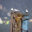 Seagulls on a mooring — Stock Photo