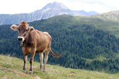 Happy cows on a high alpine — Stock Photo