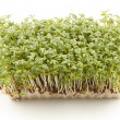 Cress — Stock Photo #3267458