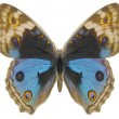 Butterfly, Blue Pansy - Stock Photo