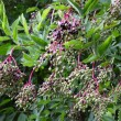Wild Elderberry, Sambucus Nigra — Stock Photo