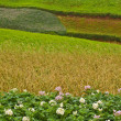 Potato fields, colorful fields 3 — Stock Photo