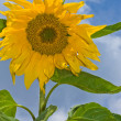 Royalty-Free Stock Photo: Sunflower with blue sky and white clouds