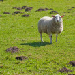 Texel sheep in lush grass field (1) — Stock Photo #3175229