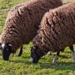 Balwen Welsh Mountain Sheep grazing (1) — Stock Photo