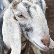 Royalty-Free Stock Photo: Nubian goat