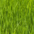 Closeup of rice paddy — Stock Photo #3179965