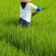 Local woman working in rice paddy — Stock Photo