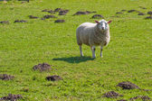 Texel sheep in lush grass field (1) — Stock Photo