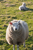 Texel sheep with lamb on grass field — Stock Photo
