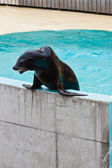 Sea-lion performing in live show — Stock Photo