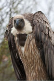 African White-backed Vulture (1) — Stock Photo