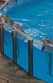 Dolfijnen leunend op de rand van het zwembad — Stockfoto