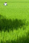 Primer plano de arroz — Stockfoto