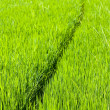 Path through rice paddy — Stock Photo #3180059