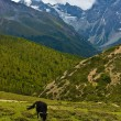 Yak grazing in tibetan highlands (1) — Stock Photo