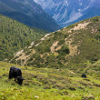 Yak grazing in tibetan highlands (2) — Stock Photo