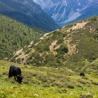 Stock Photo: Yak grazing in tibetan highlands (2)