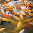Koi feeding frenzy (2) — Stock Photo