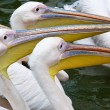 Stock Photo: Great White Pelicans