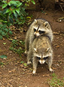 Raccoons mating — Stock Photo