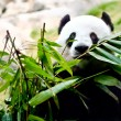A giant panda - Stock Photo
