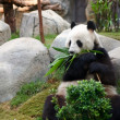 Stock Photo: A giant panda