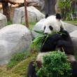 A giant panda — Stock Photo