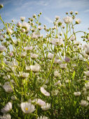 Meadow flowers — Stock Photo