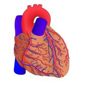 Human heart anatomy — Vector de stock