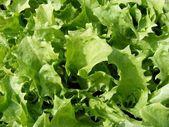 Endive Kentucky lettuce — Stock Photo