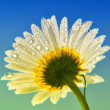 Daisy — Stock Photo #3184067
