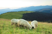 Sheep on a hill — Stock Photo