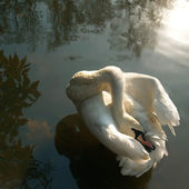 Dança do cisne — Foto Stock
