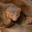 Stock Photo: Mongooses, cubs.