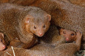 Mongooses, cubs. — Stock Photo
