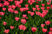 Tulips in a sunny day — Stock Photo