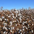 Royalty-Free Stock Photo: Cotton Field