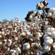 Cotton Field - Stock Photo