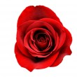 Red Rose Isolated with Clipping Path — Stock Photo